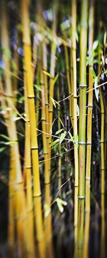 Bamboo Light, West Ti...