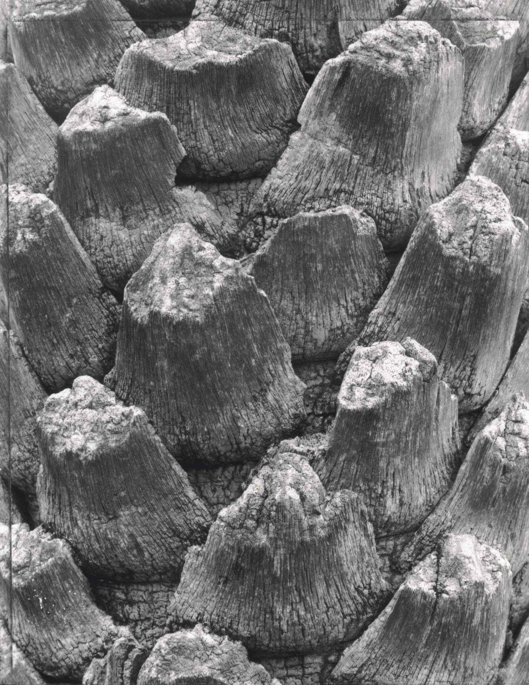 Palm Bark #4 by  Tom Haar - Masterpiece Online