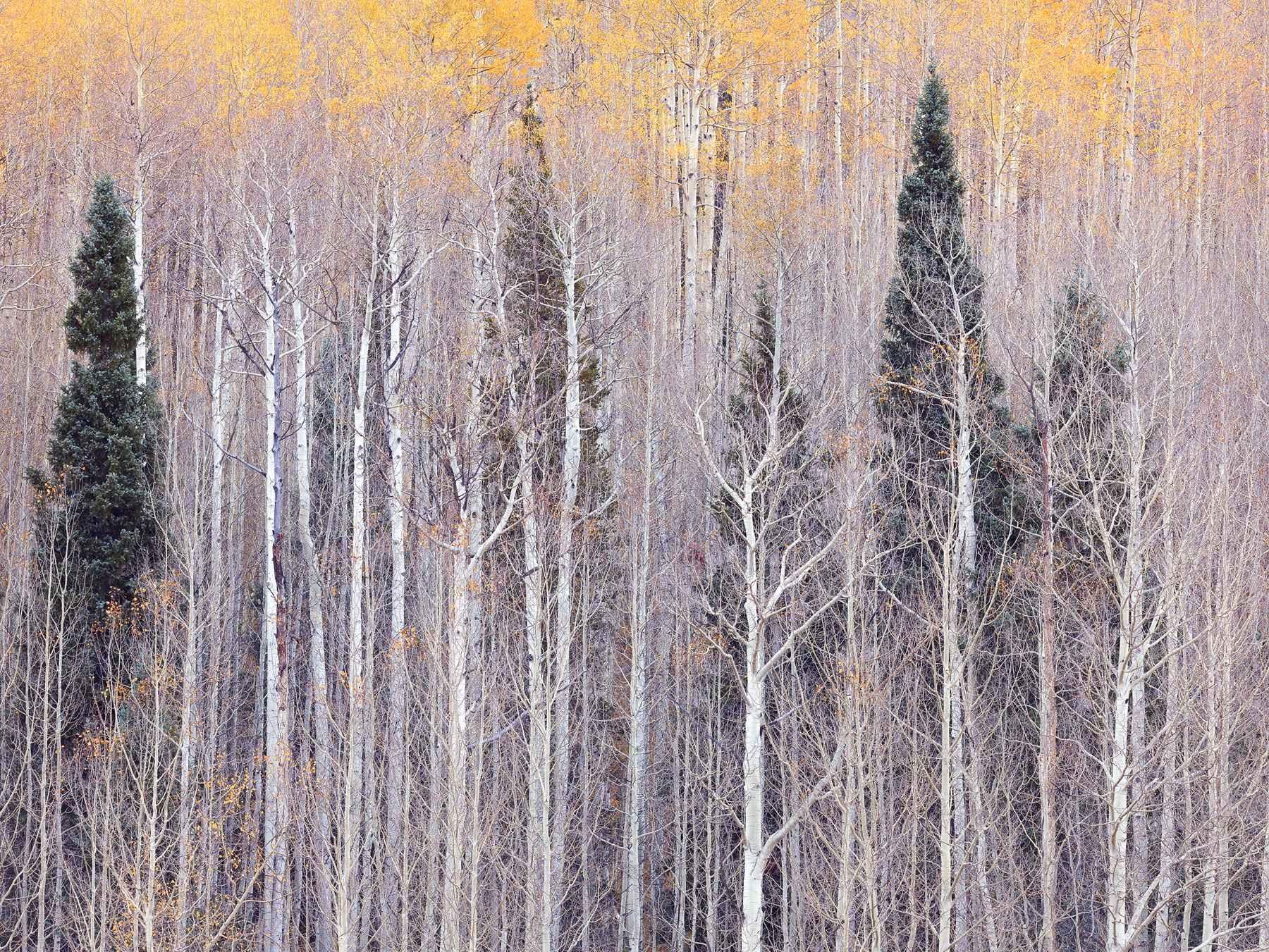 Winter Aspen Glow by  Steven Friedman - Masterpiece Online