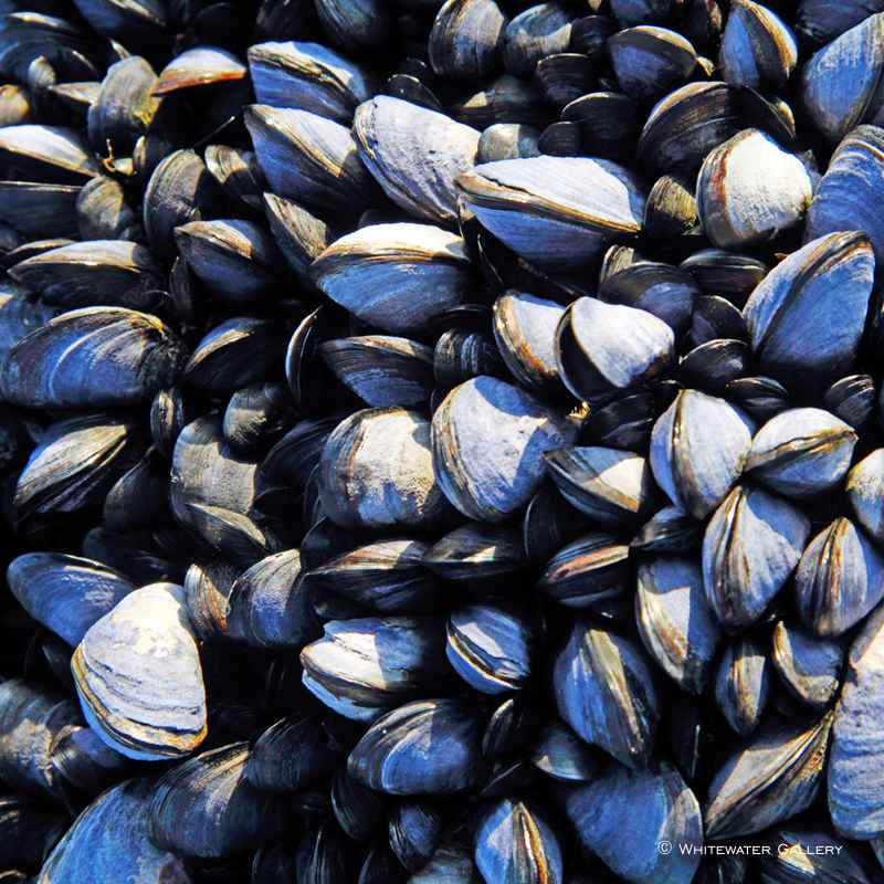 Mussels Coaster by   Placemats & Coasters - Masterpiece Online