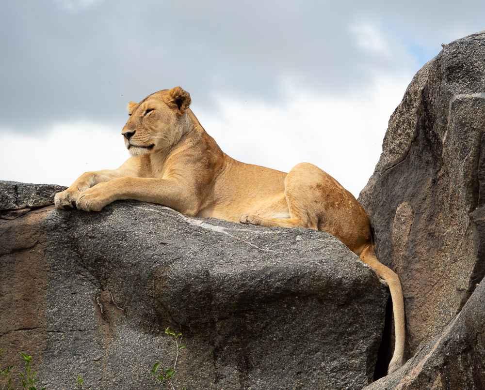 Lioness by  David Rintoul - Masterpiece Online