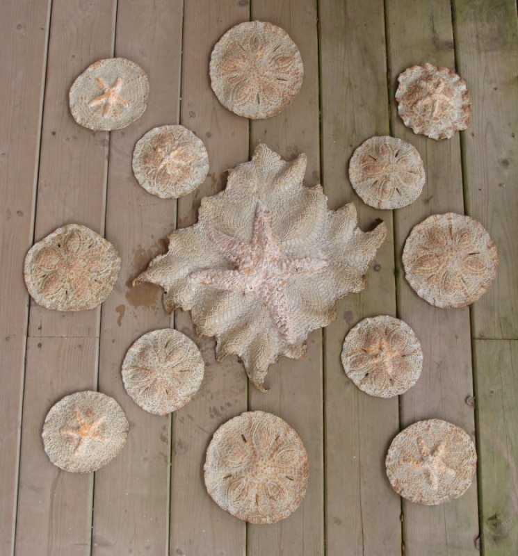 Sand Dollar with Star... by  Mary Jane Lundy - Masterpiece Online