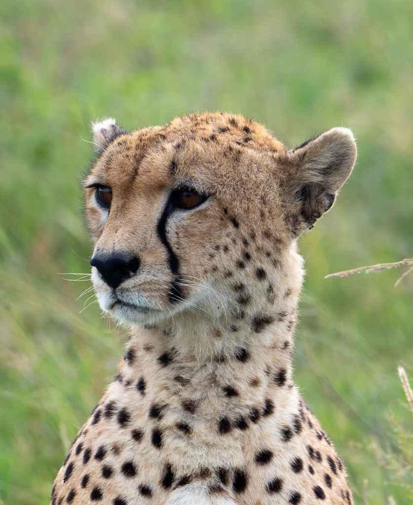Cheetah by  David Rintoul - Masterpiece Online