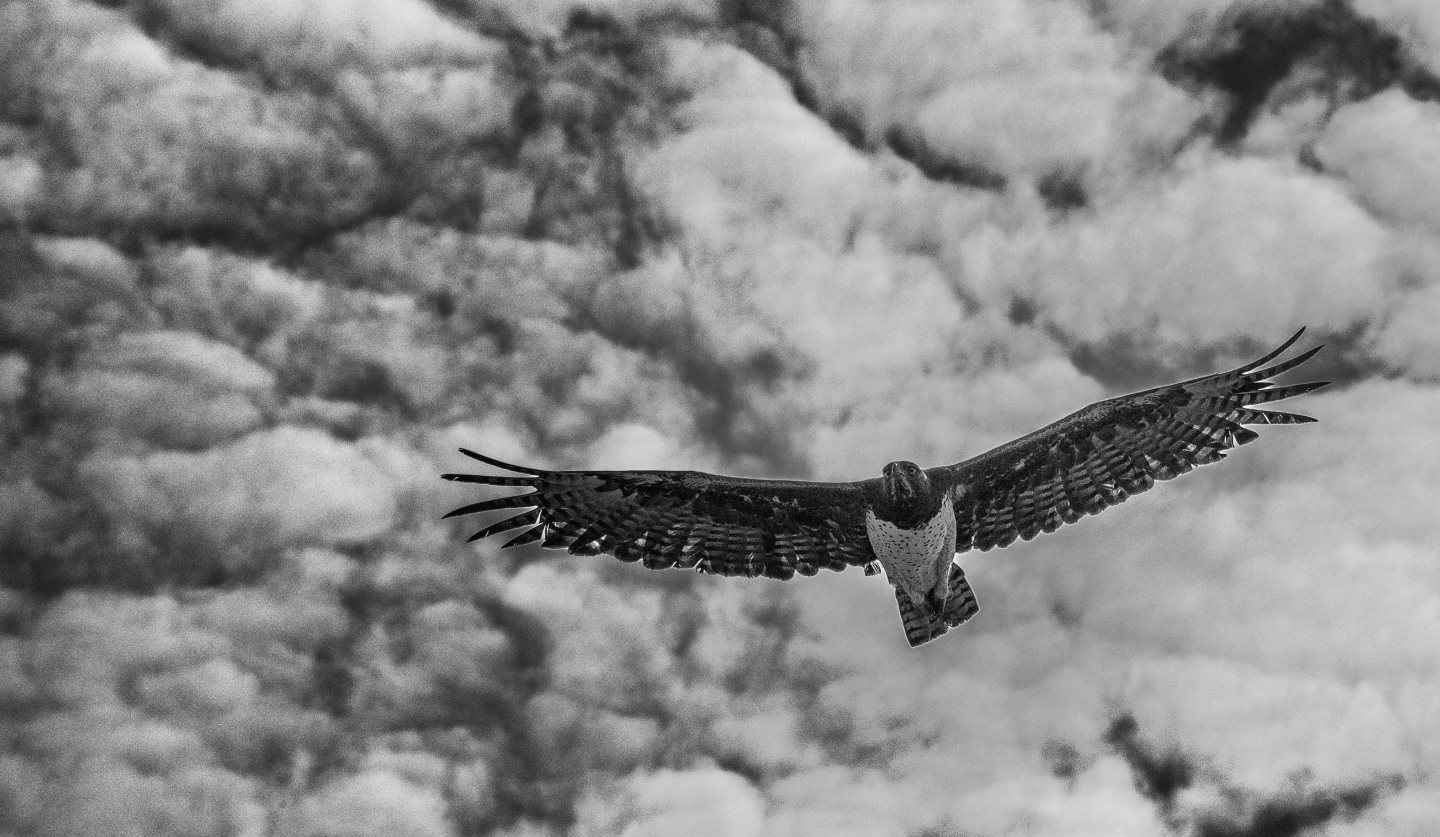 Martial Eagle Patrol by  Xtina Parks - Masterpiece Online