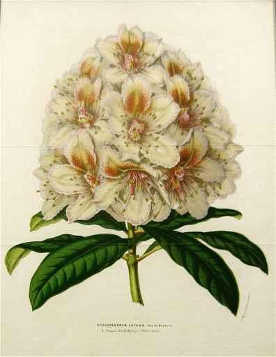 Rhododendrum Cataweb by  J. Linden - Masterpiece Online