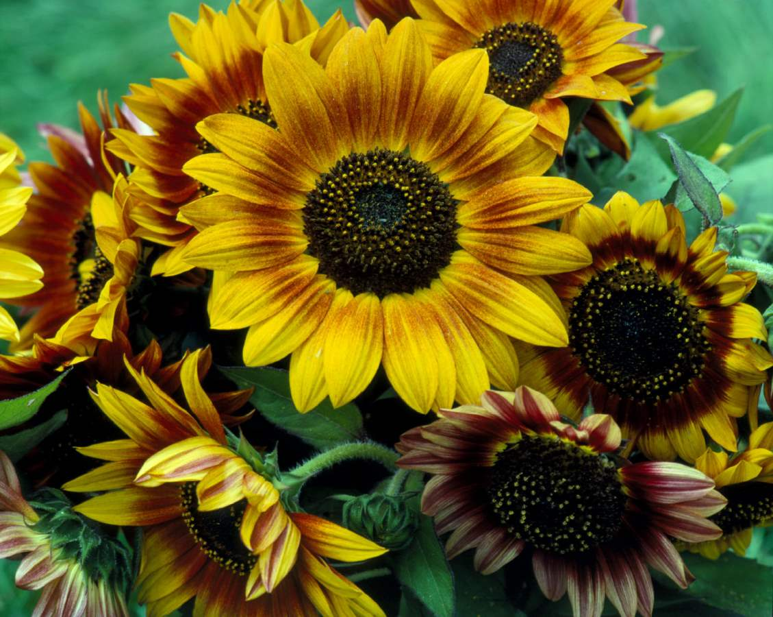 Sunflowers, Morning G... by  Alison Shaw - Masterpiece Online