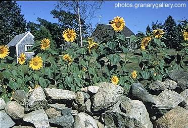 Sunflowers and Stone ... by  Alfred Eisenstaedt - Masterpiece Online