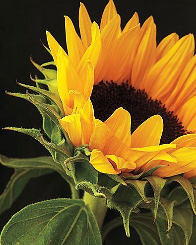 Sunflower by  Shane McDermott - Masterpiece Online
