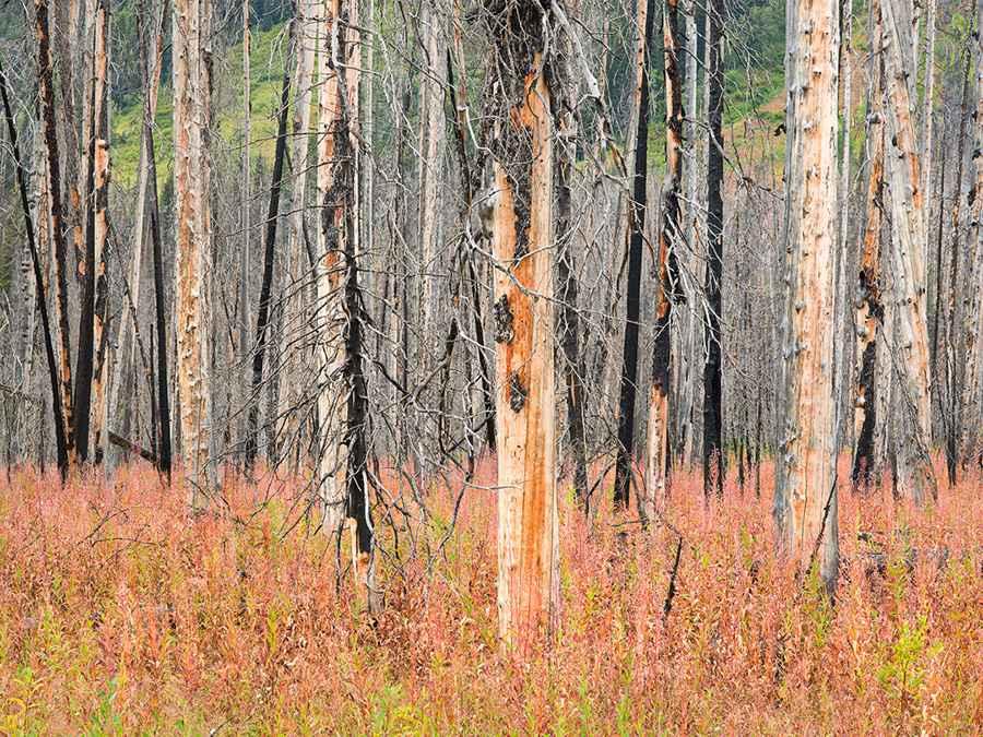 Burnt Trees & Fireweed by  Steven Friedman - Masterpiece Online