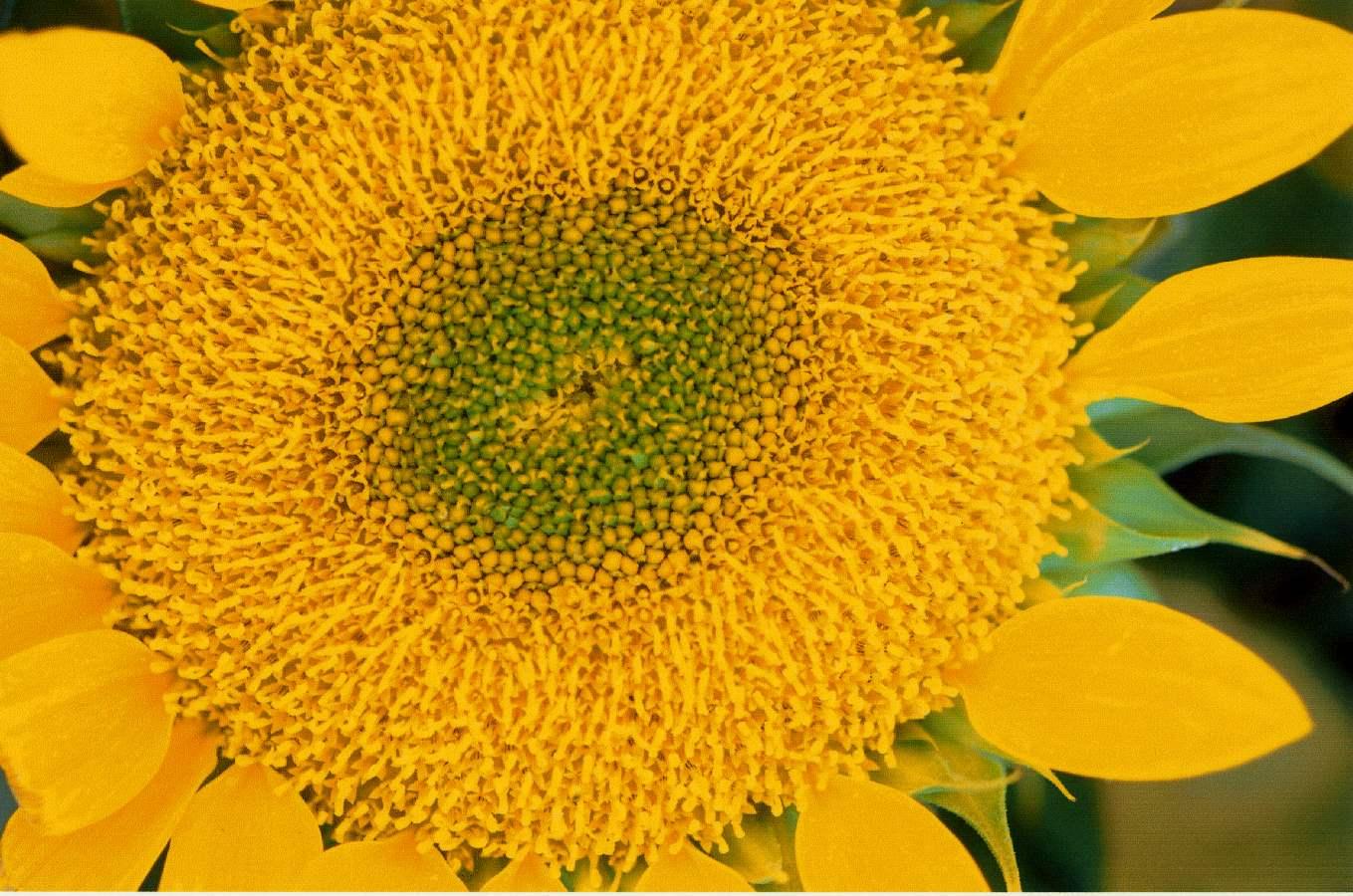 Sunflower, Farmers' M... by  Alison Shaw - Masterpiece Online