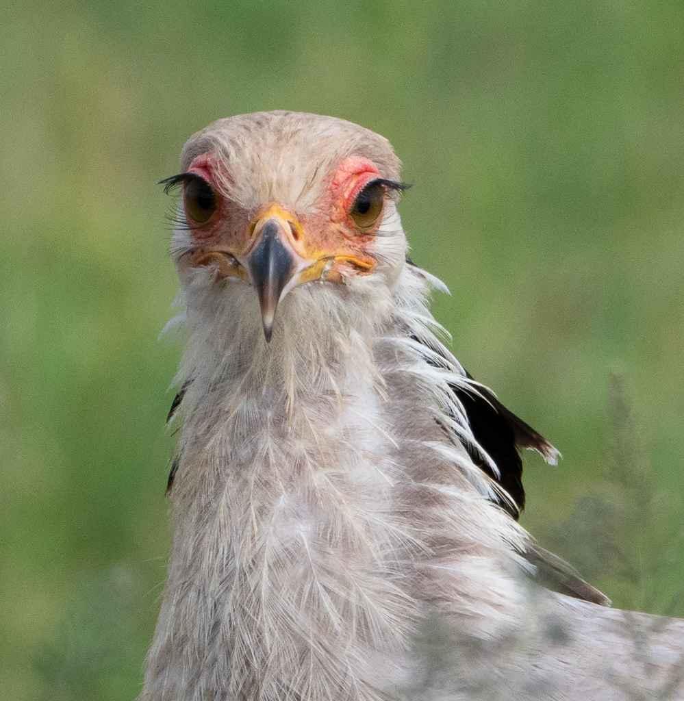 Secretary Bird  by  David Rintoul