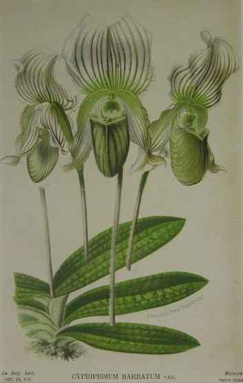 Cypripedium Barbatum by  J. Linden - Masterpiece Online