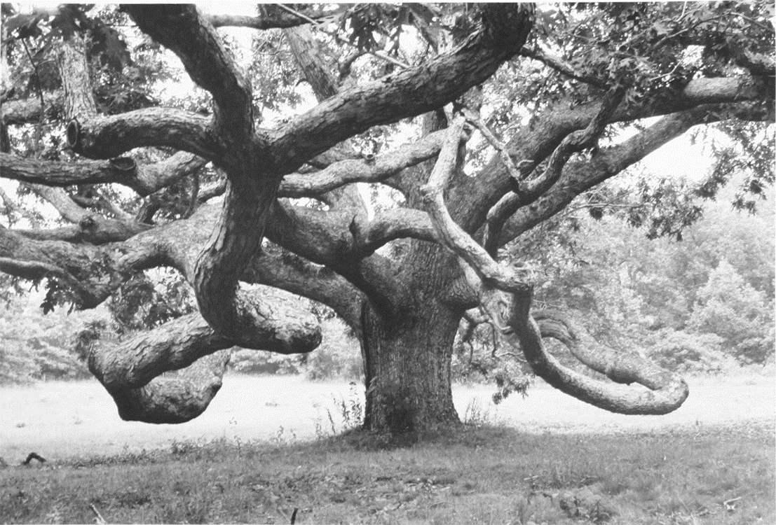 Ancient Oak Tree by  Alfred Eisenstaedt - Masterpiece Online