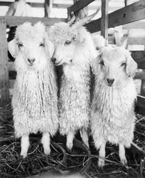Angora Goats, Texas, ... by  Alfred Eisenstaedt - Masterpiece Online