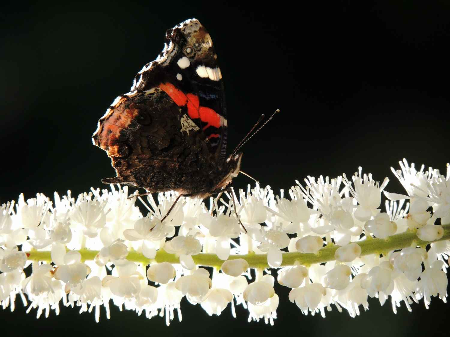 Red Admiral on Glowst... by Ms. Susan Steinhafel - Masterpiece Online