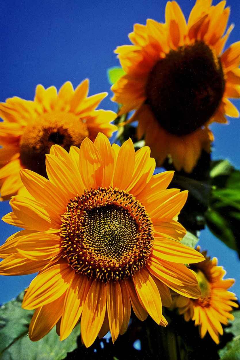 Sunflowers, Tiasquam ... by  Alison Shaw - Masterpiece Online