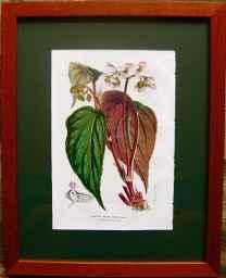 Begonia Rubro-Venia by  J. Linden - Masterpiece Online