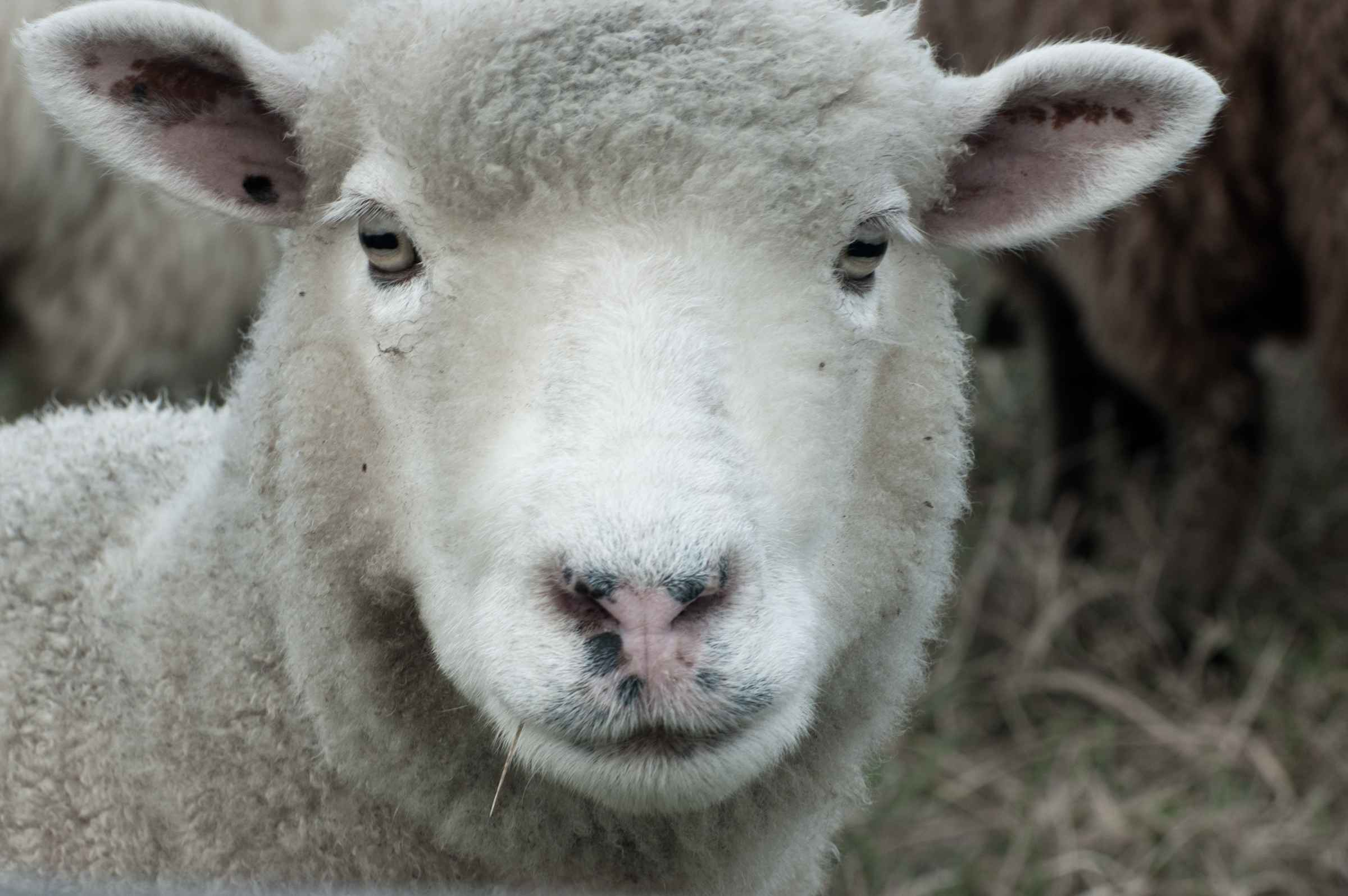 Katama Sheep (on canv... by  Melinda Fager - Masterpiece Online