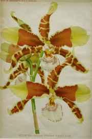 Odontoglossum Grande ... by  J. Linden - Masterpiece Online