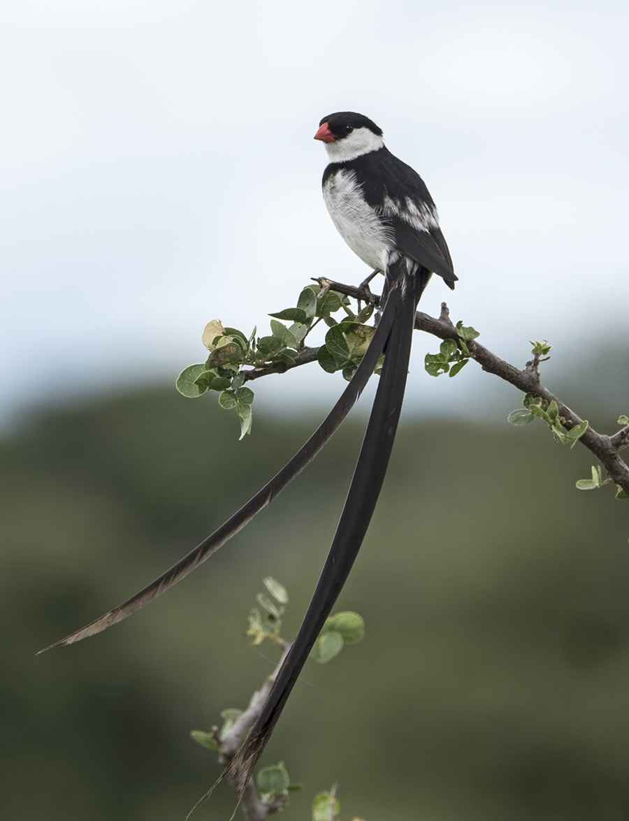 Pin-Tailed Whydah by  David Rintoul - Masterpiece Online
