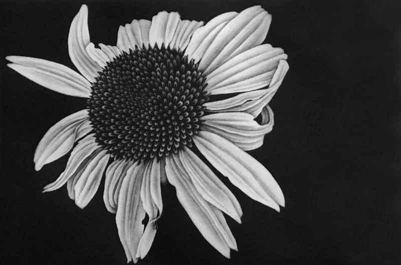 Echinacia by  Julie Niskanen - Masterpiece Online