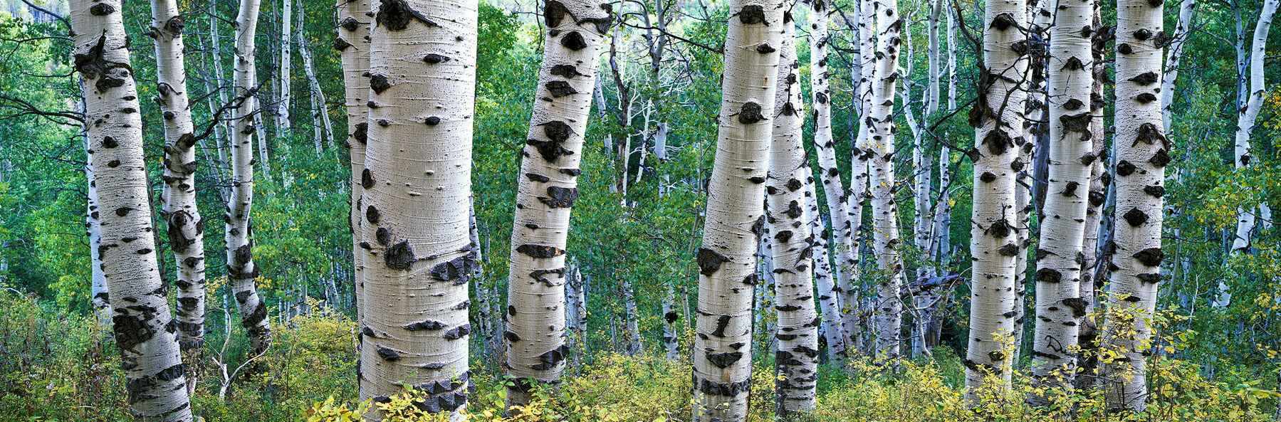 Spotted Aspens by  Steven Friedman - Masterpiece Online