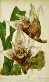 Maxillaria Sanderiana by  J. Linden - Masterpiece Online