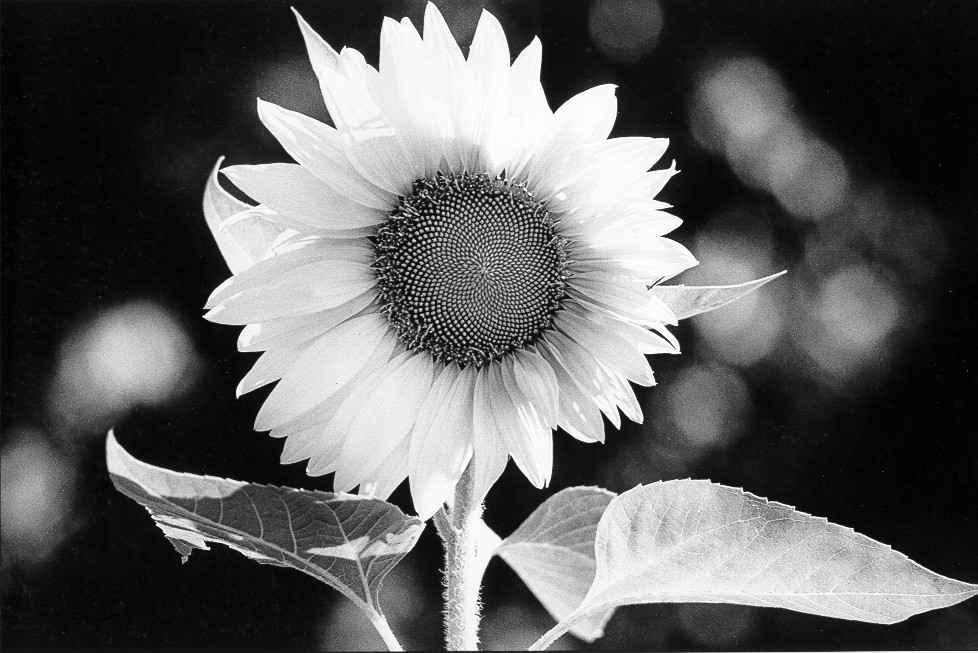 Sunflower 1978 B1 by  Alison Shaw - Masterpiece Online
