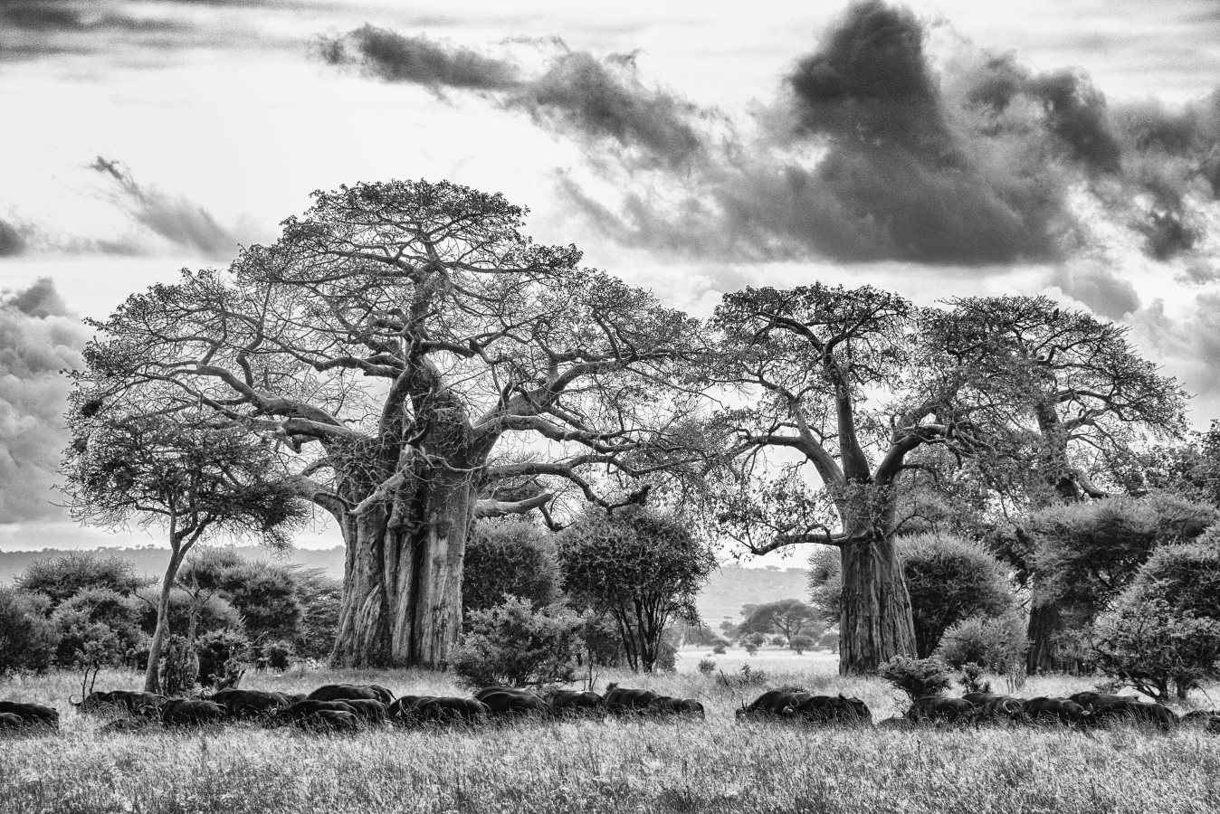 Baobab Crossing by  Xtina Parks - Masterpiece Online