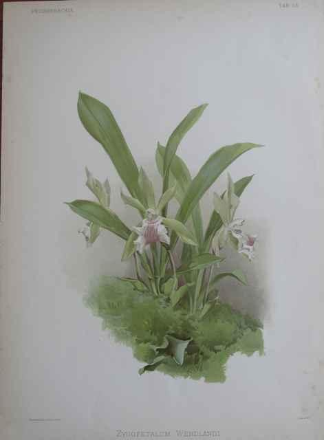 Reichenbachia: Zygope... by  H.G. Moon (1857-1905) - Masterpiece Online