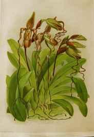 Reichenbachia: Cyprip... by  H.G. Moon (1857-1905) - Masterpiece Online