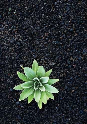 Mullein Plant by  Shane McDermott - Masterpiece Online