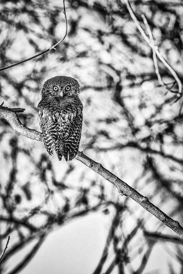 African Barred Owlet by  Xtina Parks - Masterpiece Online