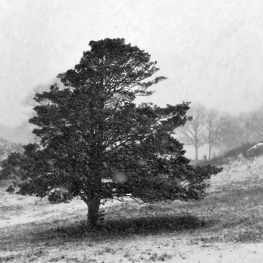 Snowy Pine by  Michael Stimola - Masterpiece Online