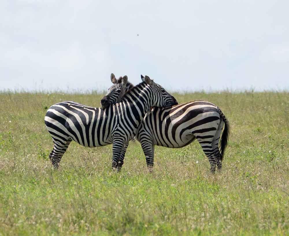 Zebras by  David Rintoul - Masterpiece Online