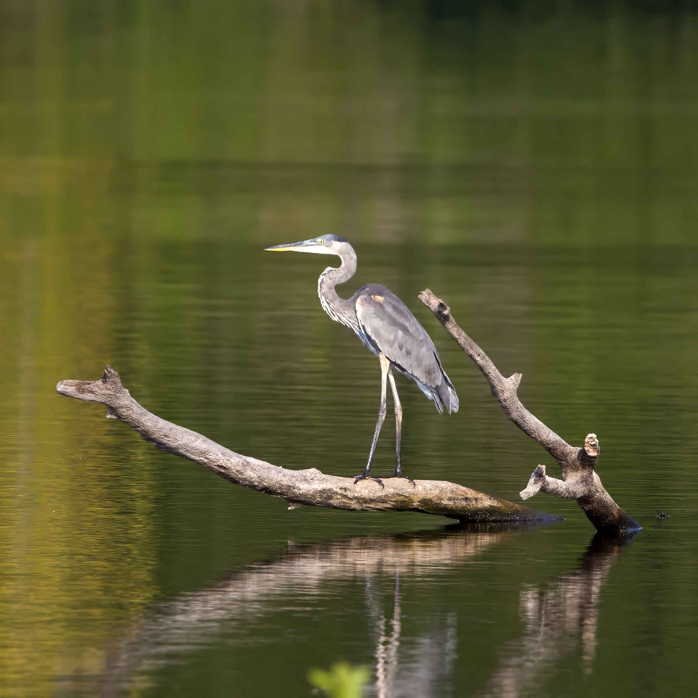 Great Blue Heron by  David Rintoul - Masterpiece Online