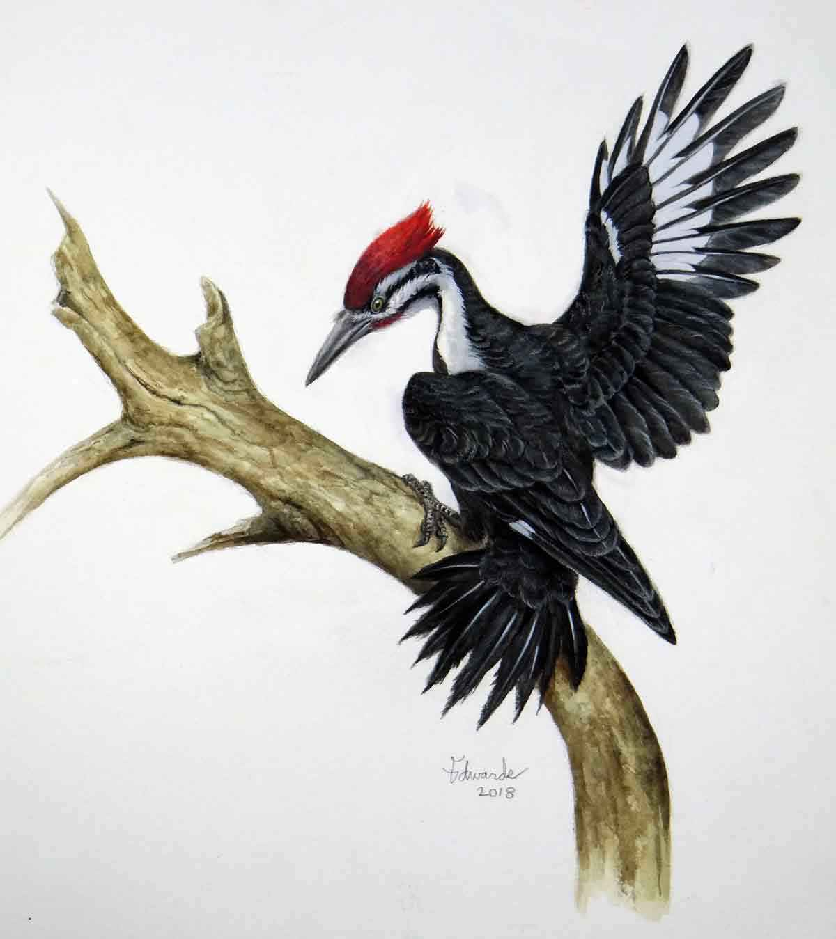 Pileated Woodpecker 2  by  Wallace Edwards