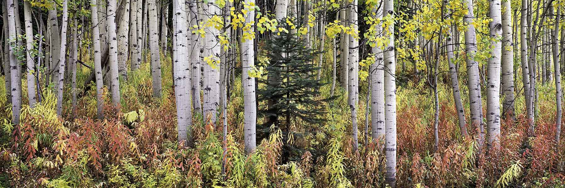 Autumn Fireweed and A... by  Steven Friedman - Masterpiece Online