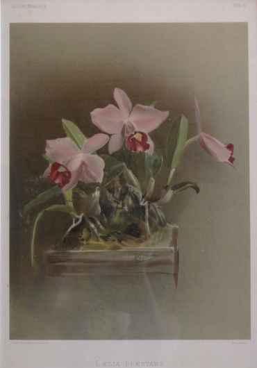 Reichenbachia: Laelia... by  H.G. Moon (1857-1905) - Masterpiece Online