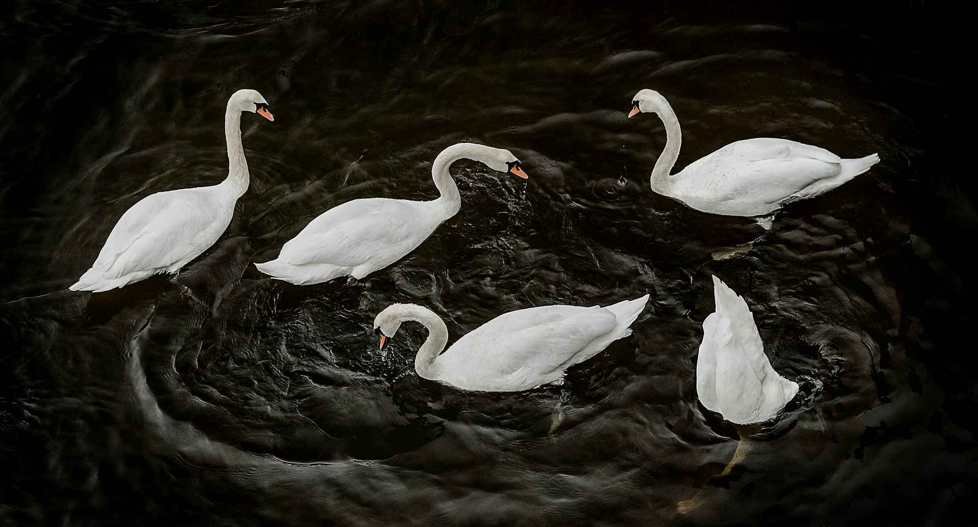 Circling Swans by  Christopher Priebe - Masterpiece Online