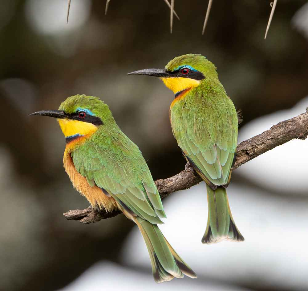 Little Bee Eaters  by  David Rintoul