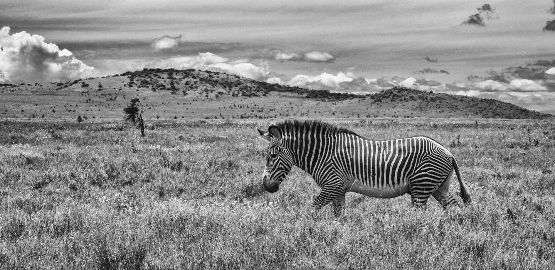 Grevy's Zebra Garden by  Xtina Parks - Masterpiece Online