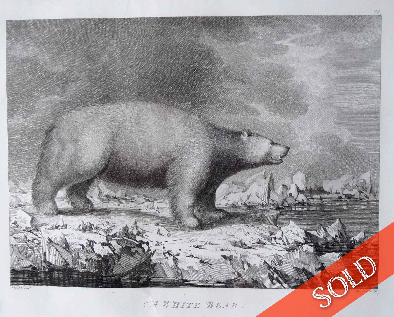 A White Bear by  John Webber (1752-1793) - Masterpiece Online