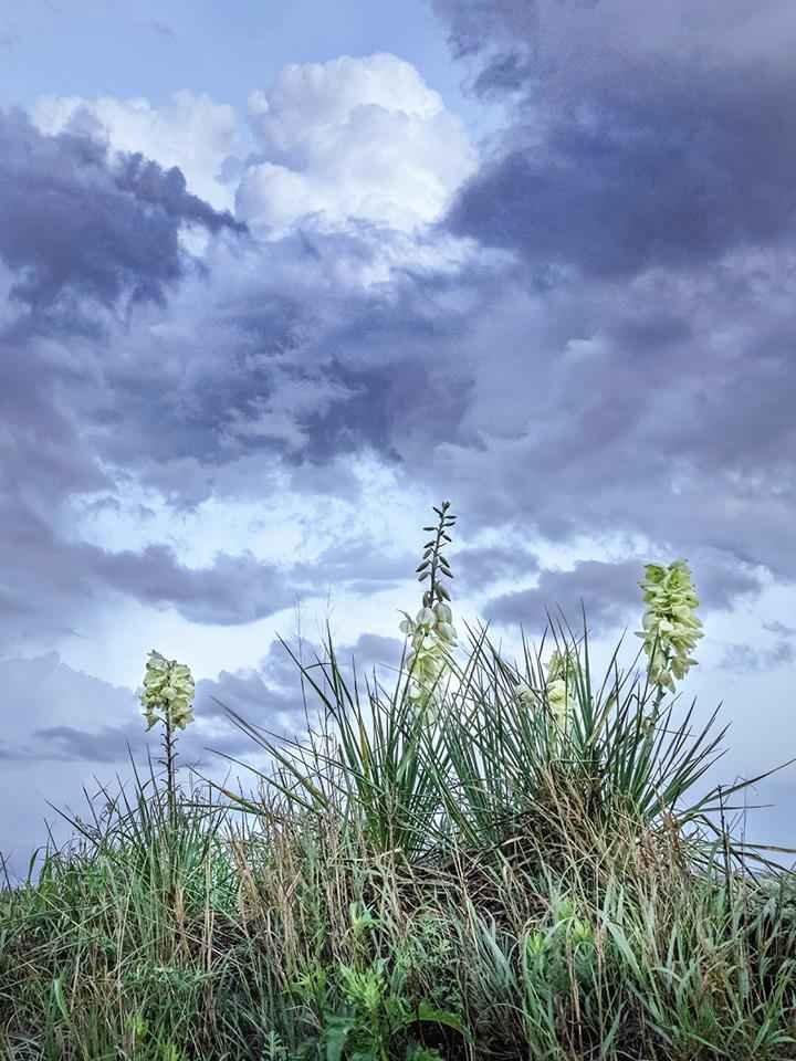 Yucca, Coronado Heigh...  by  George Jerkovich