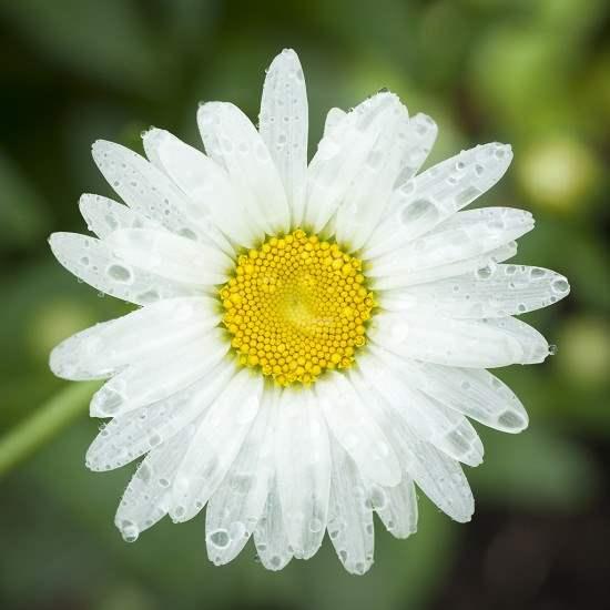 Shasta Daisy 2014 S1 by  Alison Shaw - Masterpiece Online