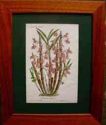 Dendrobium Hasselti by  J. Linden - Masterpiece Online