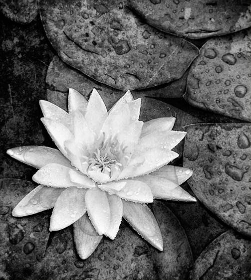Water Lily, 2004 by  Michael Stimola - Masterpiece Online