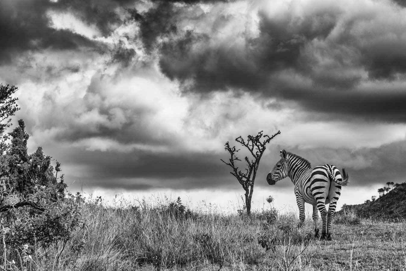 Zebra Clouds by  Xtina Parks - Masterpiece Online