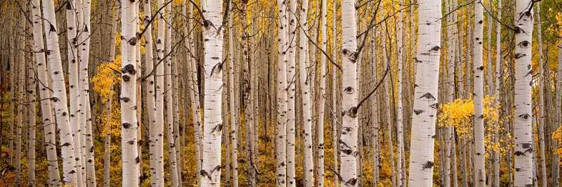 Delicate Aspen Leaves... by  Steven Friedman - Masterpiece Online