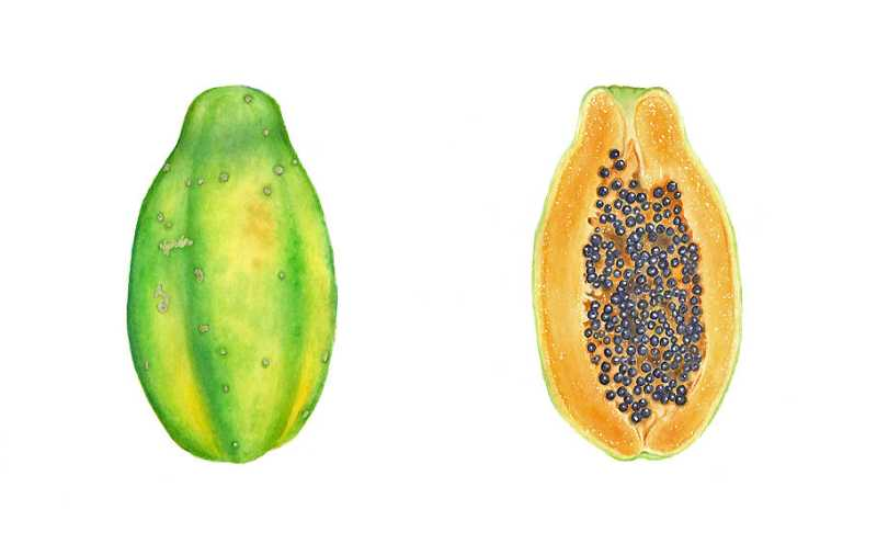 Papaya Study by  Joel Carlson - Masterpiece Online